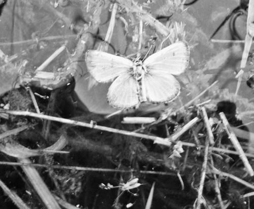 butterflyingrass