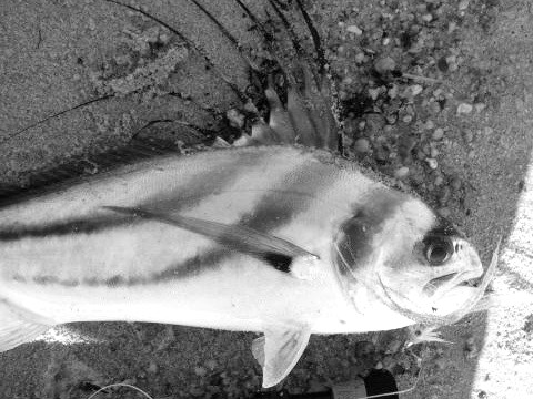 rooster fish 1