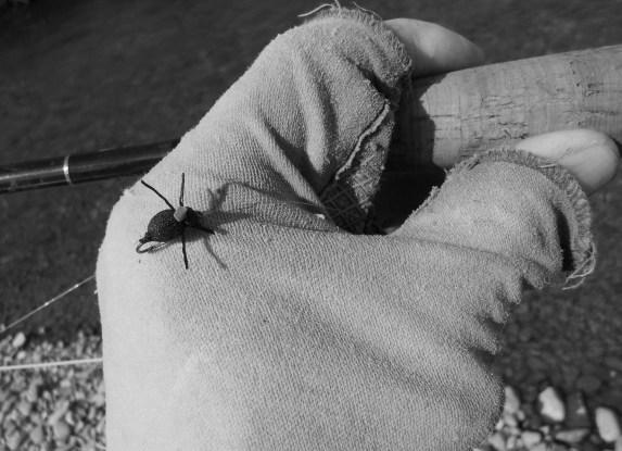 nz beetle